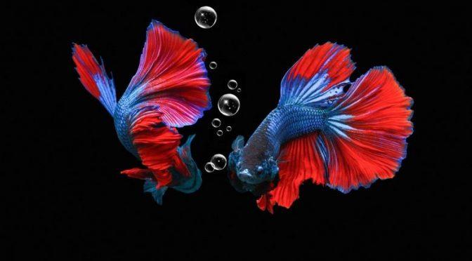 Ikan Cupang Fancy, Rekomendasi Ikan Eksotis untuk Pecinta Cupang